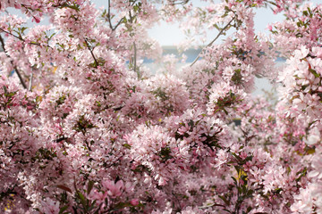 stormy spring/ background of many flowers of cherry tree