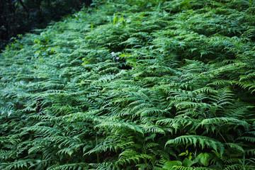 Background of green fern. Summer time. Dark forest