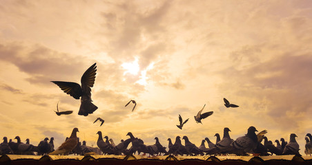 Abstract backgroud : flock of pegeon on th roof with sun set