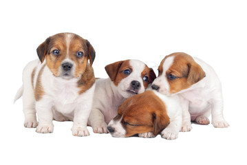 Group of four puppies isolated on white