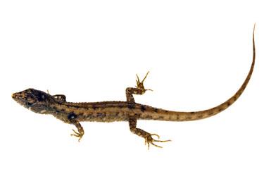 A Gymnophthalmid lizard from Ecuador (Potamites sp.)