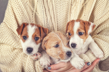 Tree little puppies on human hands cozy background