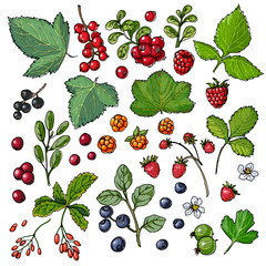 Set of vector berries and leaves. Wild berries painted color line on a white background. Cranberry, cranberries, currants, raspberries, strawberries, gooseberries, blueberries, barberries
