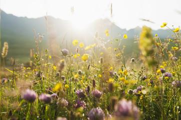 Blooming meadow near Black Cuillin, Scotland