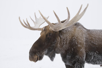 An elk (Cervus canadensis) with snow on it's fur
