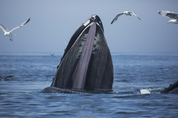 Humpback whale (Megaptera novaeangliae) at the surface of the water; Massachusetts, United States of America