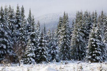 Snow covered evergreen trees; Bromont, Quebec, Canada