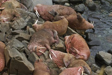 Pacific walrus (Odobenus rosmarus) group of males hauled out on rocky shore, Walrus Islands State Game Sanctuary, Round Island, Bristol Bay, Western Alaska, USA