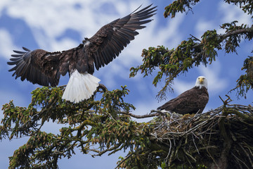 The male of a mated pair of Bald Eagles (Haliaeetus leucocephalus) lands at their nest in a sitka spruce tree in SE Alaska's Tongass National Forest near Juneau, Inside Passage; Alaska, United States of America