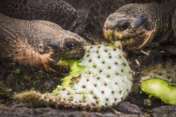 Two Galapagos giant tortoises (Geochelone) biting cactus leaves; Galapagos Islands, Ecuador