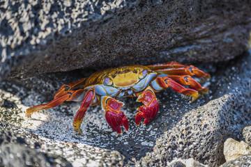Sally Lightfoot crab, Galapagos Islands, Ecuador