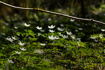 The white flower of an anemone blossoming in the spring wood.