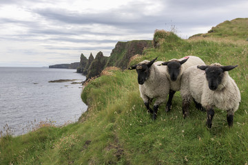 Sheep standing on the grass on the shore with a view of the coastline; John O'Groats, Highlands, Scotland