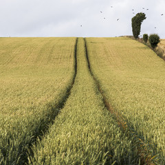 Tire tracks going through a field with a flock of birds flying overhead; Cupar, Scotland