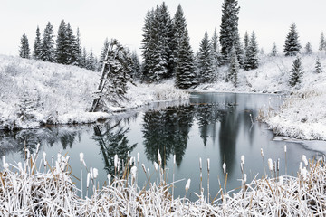 An open pond in the winter with snow covered hilly banks, evergreen trees and bulrushes; Calgary, Alberta, Canada