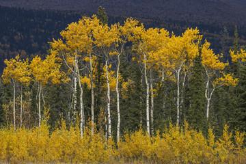 Golden colored trees along the Alaska Highway, Yukon Territory, Canada