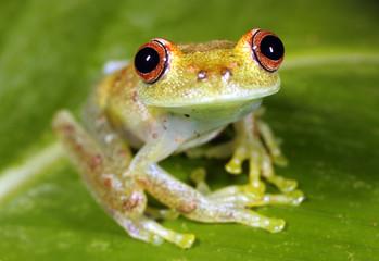 Peeping rain frog (Pristimantis lachrimosus) in the Peruvian Amazon