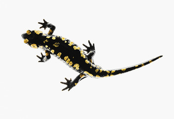 Salamander (Caudata) on a white background; Tarifa, Cadiz, Andalusia, Spain