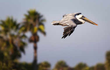 Pelican in flight with palm trees in the background; United States of America