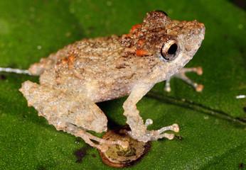 Long-nosed rain frog (Pristimantis carvolhoi) i the Peruvian Amazon