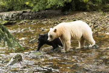 Spirit Bear (Ursus americanus kermodei) and black cub walking across a creek, Great Bear Rain Forest; British Columbia, Canada