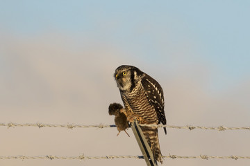 Northern Hawk-owl perched on a frosty barbed wire fence hunts for voles, Southcentral Alaska, winter
