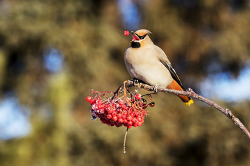 Bohemian waxwing (Bombycilla garrulus) eating mountain ash berries in autumn; Anchorage, Alaska, United States of America