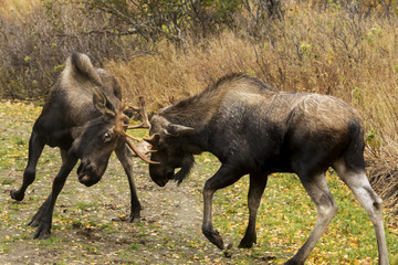 Young bull moose (alces alces) play-fighting on the Coastal Trail in Kincaid Park, rutting season, autumn; Anchorage, Alaska, United States of America