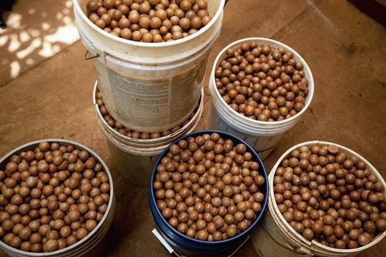 Buckets of unshelled nuts are seen at a macadamia farm; Hoolehua, Molokai, Hawaii, United States of America