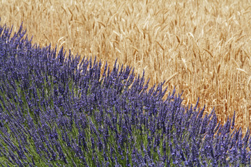 Lavender against a wheat field; Provence, France