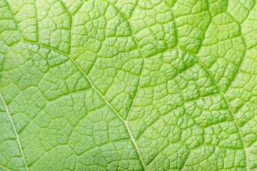 background texture of a young green leaf