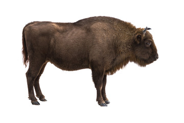 European bison isolates