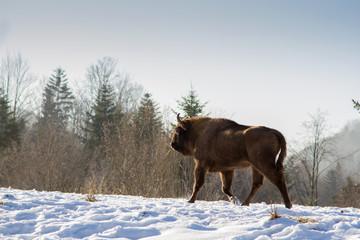 European bison winter in Carpathians