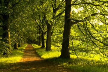 Lane of beech trees