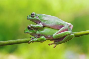 frog, animals, dumpy frog, mammals, animal wildlife, indonesia, lonley frog, green, cute, best animals, two frog, two dumpy frog, mammal friedship,