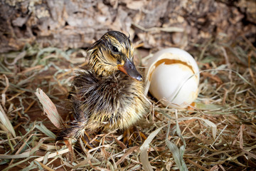 Drying duckling hatched
