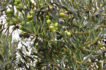 Olive tree with berry
