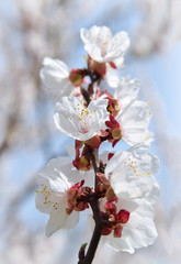 Flowering apricot on background sky. Spring in the garden.