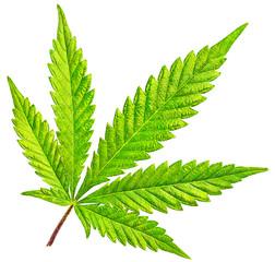 Isolated 5 Tip Marijuana Leaf 01