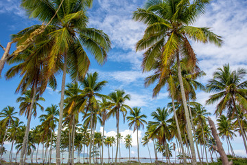 a lot of green coco palms on blue sky background
