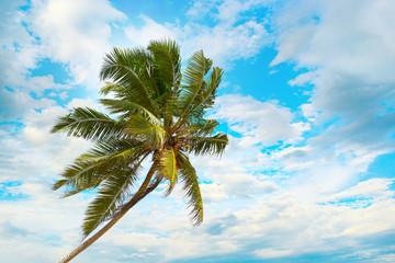 Tilted coconut palm on background the blue sky