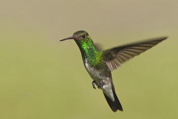 Glittering-throated Emerald (Amazilia fimbriata) in flight against clean background, Itanhaem, Brazil