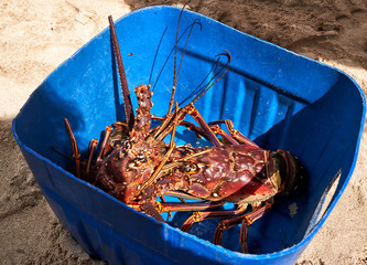 Two spiny lobsters in a blue bucket offered by beach seller. Isla Saona. Dominican Republic
