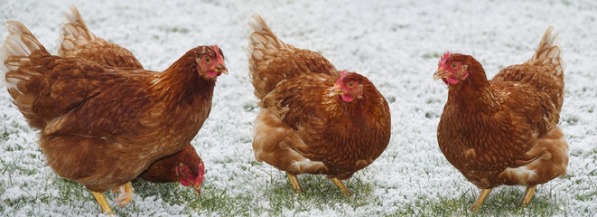 free breeding hen in winter