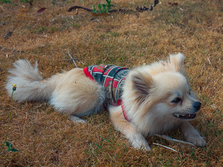 Pomeranian dog on a walk. Dog outdoor.