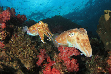 Pharaoh Cuttlefish pair