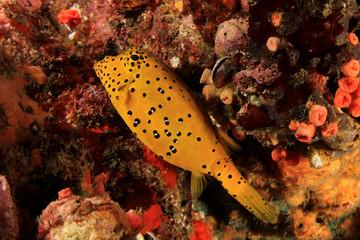 Juvenile boxfish fish
