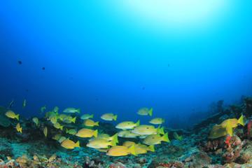 Snapper fish school underwater