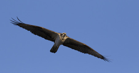 Osprey with his large wing span soaring in the sky