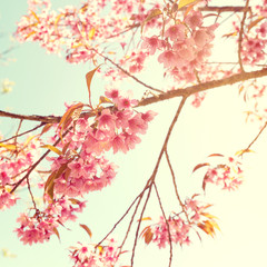 Wall Mural - Vintage cherry blossom - sakura flower. nature background